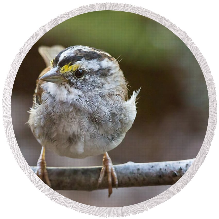 White Throated Sparrow Portrait Round Beach Towel featuring the photograph White Throated Sparrow Portrait by Jemmy Archer