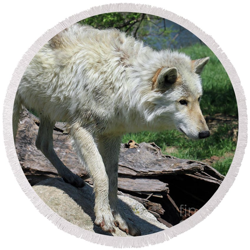 Wolf Round Beach Towel featuring the photograph White Wolf 1 by Steve Gass