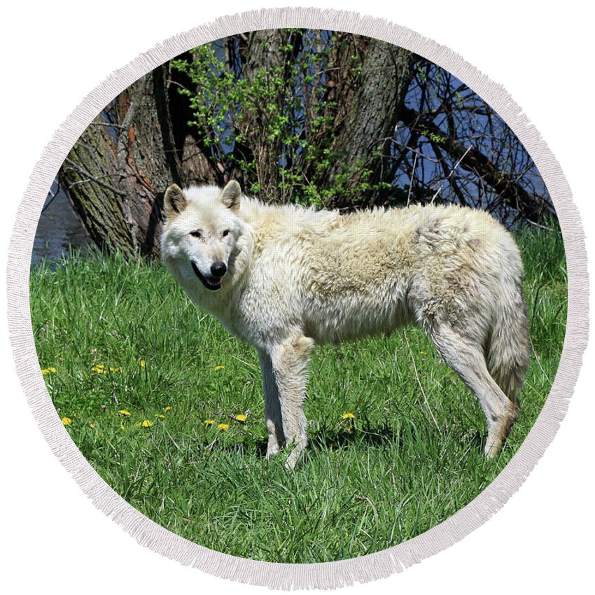 Wolf Round Beach Towel featuring the photograph White Wolf 2 by Steve Gass