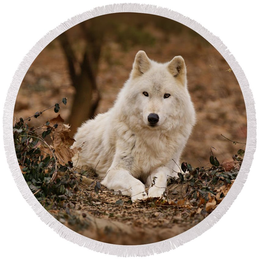 Wolf Round Beach Towel featuring the photograph White Wolf by Sandy Keeton