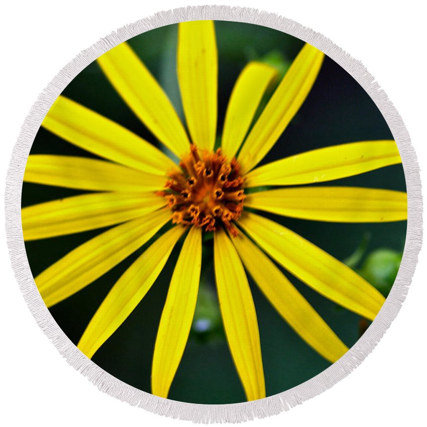 Rosinweed Round Beach Towel featuring the photograph Whorled Rosinweed by Jack R Perry