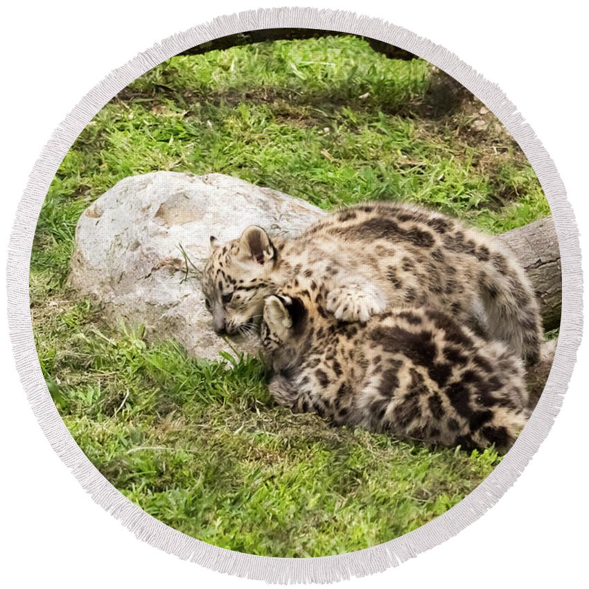 Snow Leopards Round Beach Towel featuring the photograph Who's The Boss Here? by Tom Horsch Photography