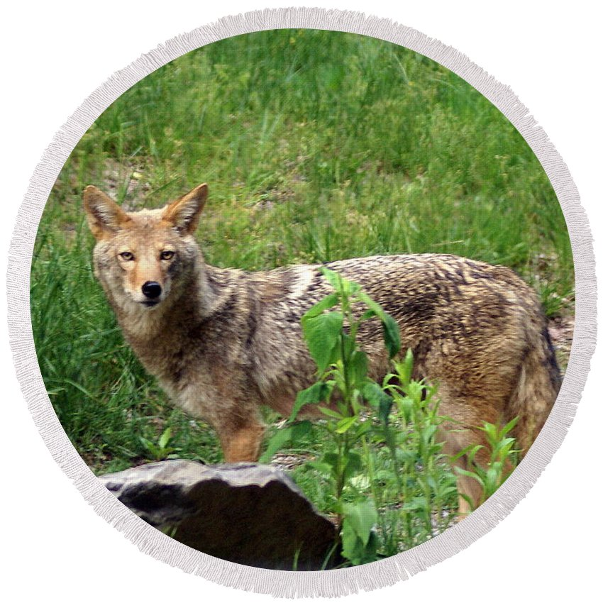 Cpyote Round Beach Towel featuring the photograph Wiley Coyote by Marty Koch