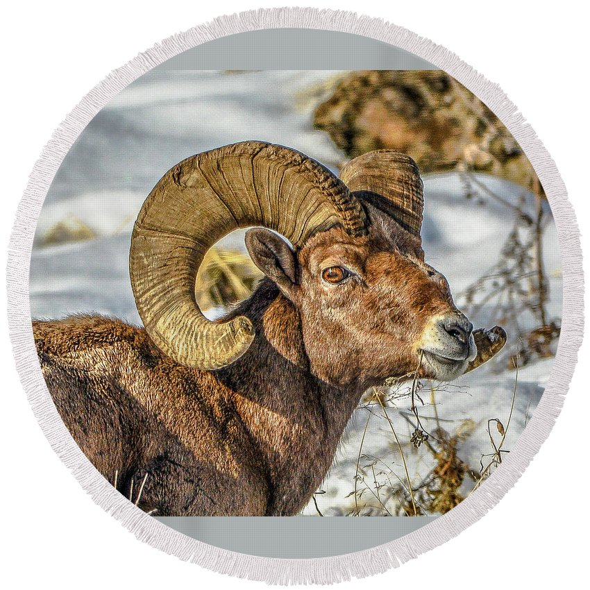 Bighorn Sheep Round Beach Towel featuring the photograph Wintering Ram 1 by Jason Brooks