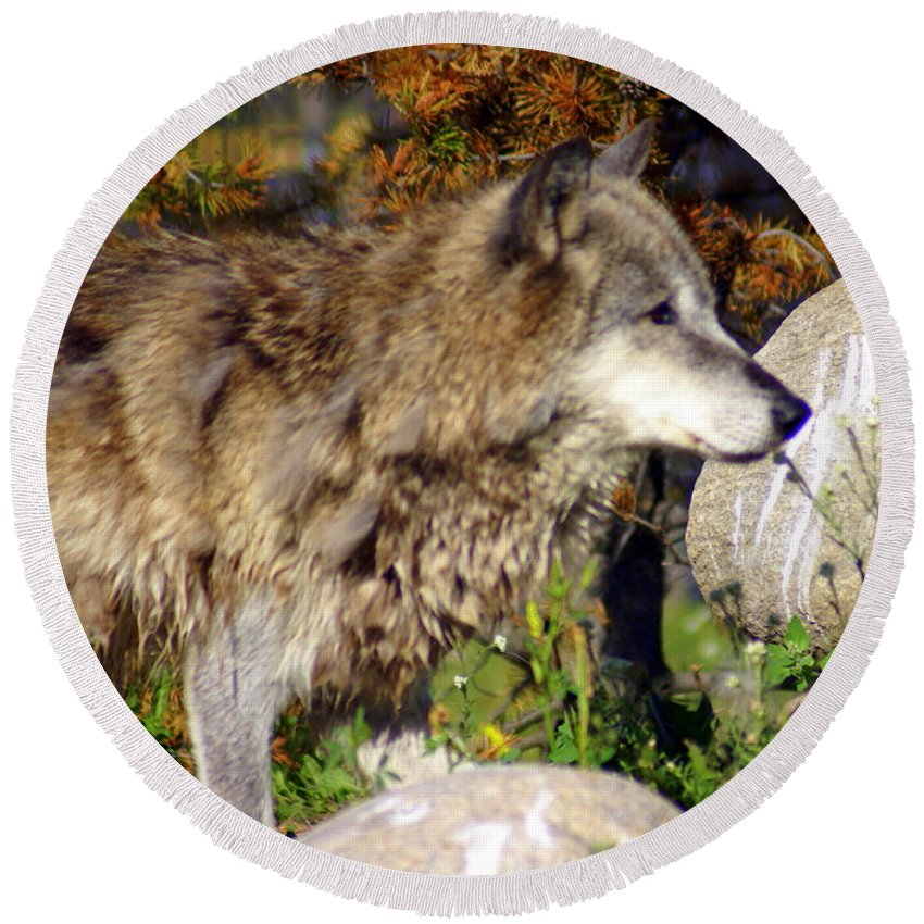 Wolf Round Beach Towel featuring the photograph Wolf On Patorl by Marty Koch