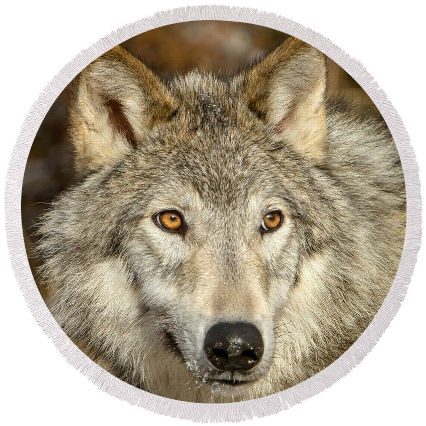 Wolf Round Beach Towel featuring the photograph Wolf Portrait by Jack Bell