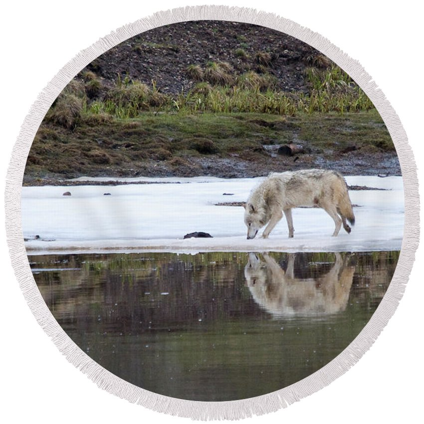 Yellowstone Round Beach Towel featuring the photograph Wolflection by Steve Stuller