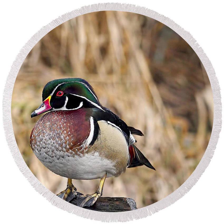Wood Duck Round Beach Towel featuring the photograph Wood Duck 3 by Sharon Talson