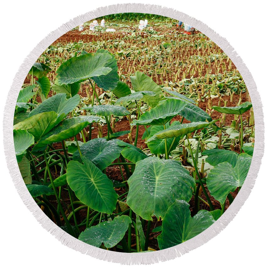 Agriculture Round Beach Towel featuring the photograph Yams Farm In Azores by Gaspar Avila