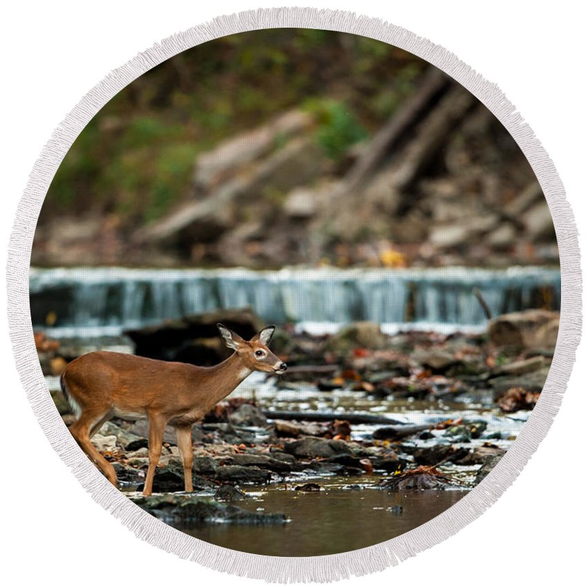 Fawn Round Beach Towel featuring the photograph Yearling On Indian Creek by Jeff Phillippi