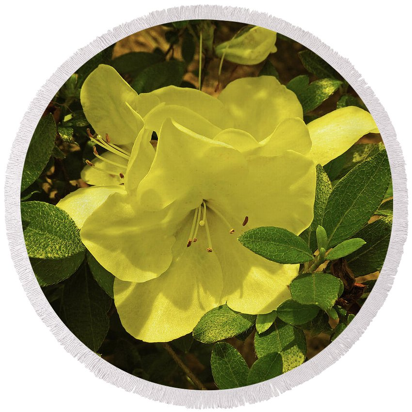Photography Round Beach Towel featuring the digital art Yellow Azaleas by Marian Bell