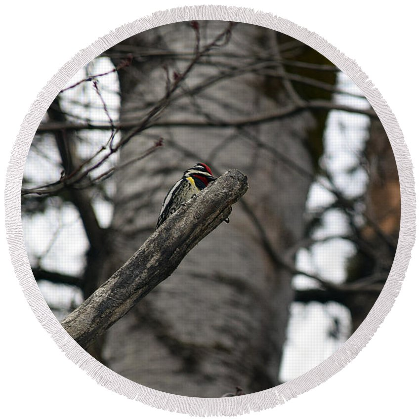 Yellow-bellied Sapsucker Round Beach Towel featuring the photograph Yellow-bellied Sapsucker by William Tasker
