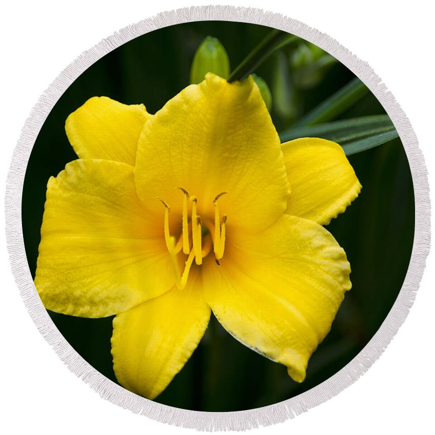 Daylily Round Beach Towel featuring the photograph Yellow Daylily Flower by Christina Rollo