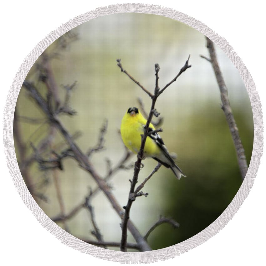 Bird Round Beach Towel featuring the photograph Yellow Finch by Wendy Fox