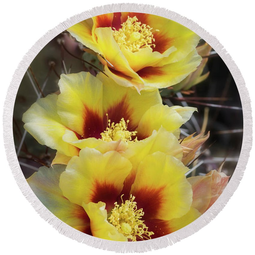 Prickly Pear Cactus Round Beach Towel featuring the photograph Yellow Long- Spined Prickly Pear Cactus by Saija Lehtonen