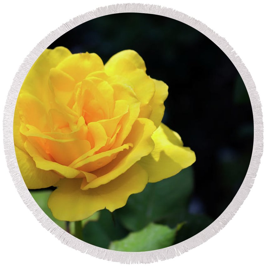 Rose Round Beach Towel featuring the photograph Yellow Rose - Full Bloom by Douglas Milligan