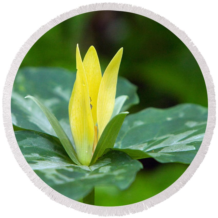 Photography Round Beach Towel featuring the photograph Yellow Trillium Flower Trillium Luteum by Panoramic Images