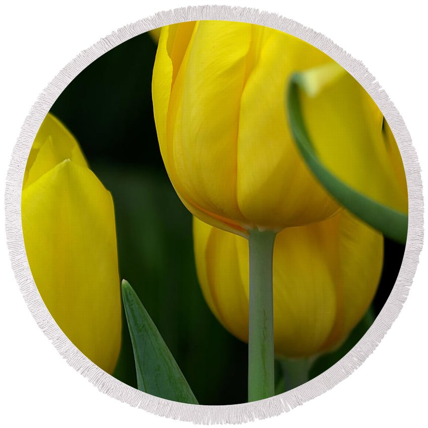 Ann Keisling Round Beach Towel featuring the photograph Yellow Tulips by Ann Keisling