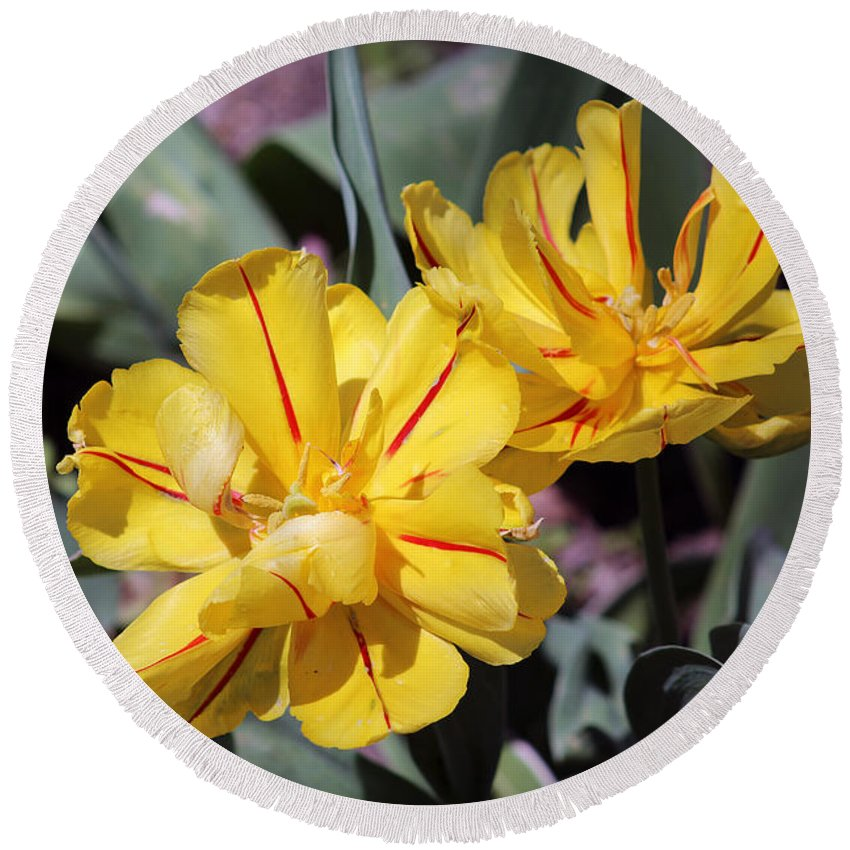 Tulips Round Beach Towel featuring the photograph Yellow Tulips by Douglas Milligan