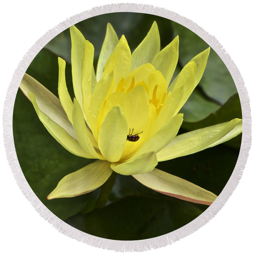 Waterlily Round Beach Towel featuring the photograph Yellow Waterlily With A Visiting Insect by Venetia Featherstone-Witty