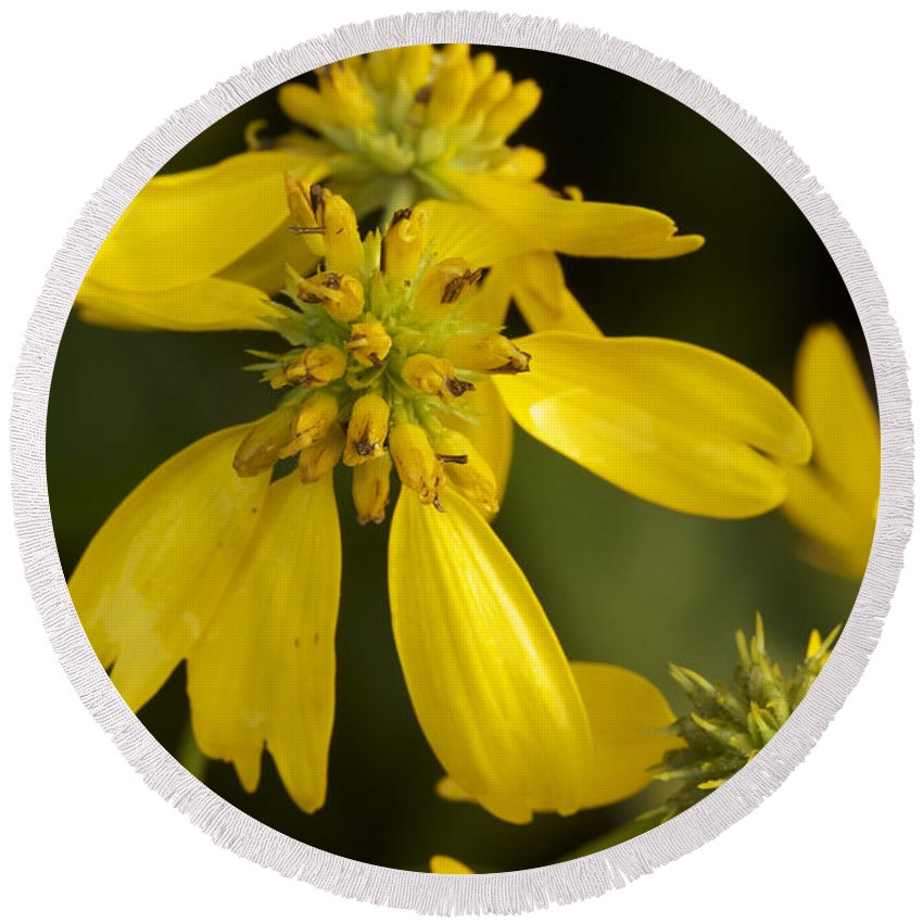 Wing Round Beach Towel featuring the photograph Yellow Wingstem by Jack R Perry