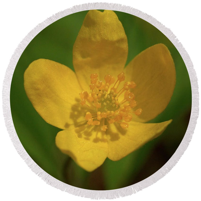 Lehtokukka Round Beach Towel featuring the photograph Yellow Wood Anemone 2 by Jouko Lehto