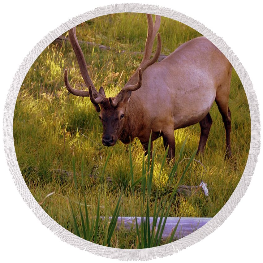 Elk Round Beach Towel featuring the photograph Yellowstone Bull by Marty Koch