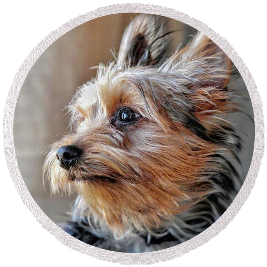 Yorkie Round Beach Towel featuring the photograph Yorkshire Terrier Dog Pose #2 by John Myers