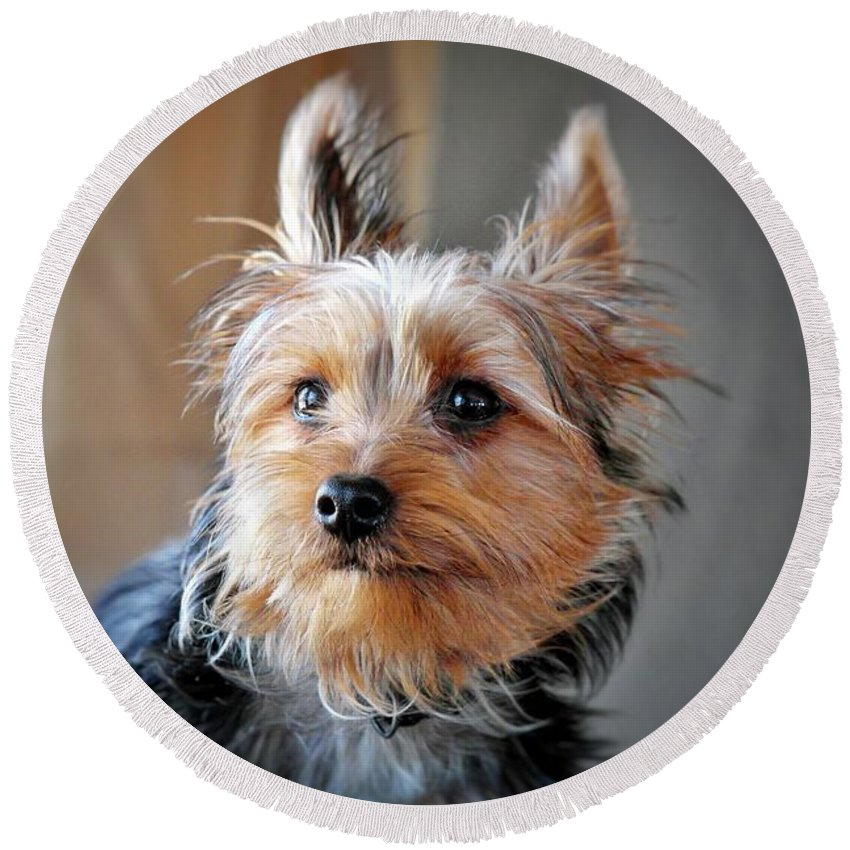 Yorkie Round Beach Towel featuring the photograph Yorkshire Terrier Dog Pose #3 by John Myers