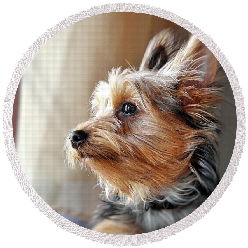 Yorkie Round Beach Towel featuring the photograph Yorkshire Terrier Dog Pose #5 by John Myers