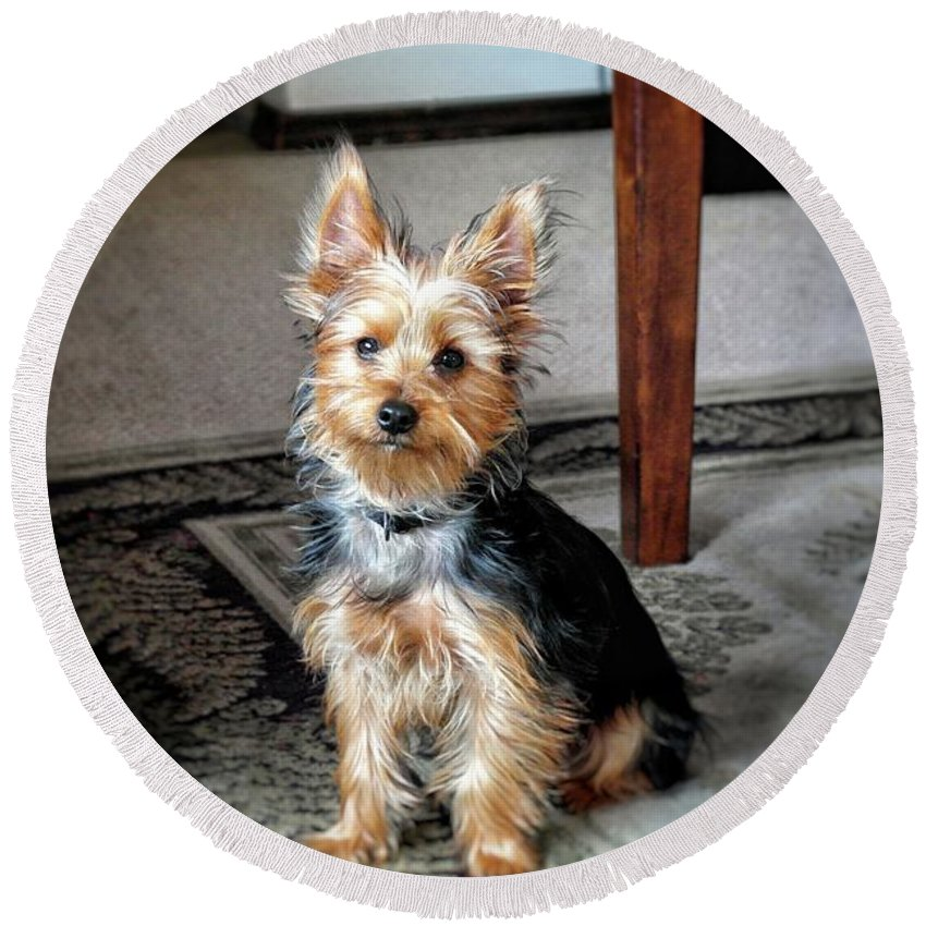 Yorkie Round Beach Towel featuring the photograph Yorkshire Terrier Dog Pose #6 by John Myers