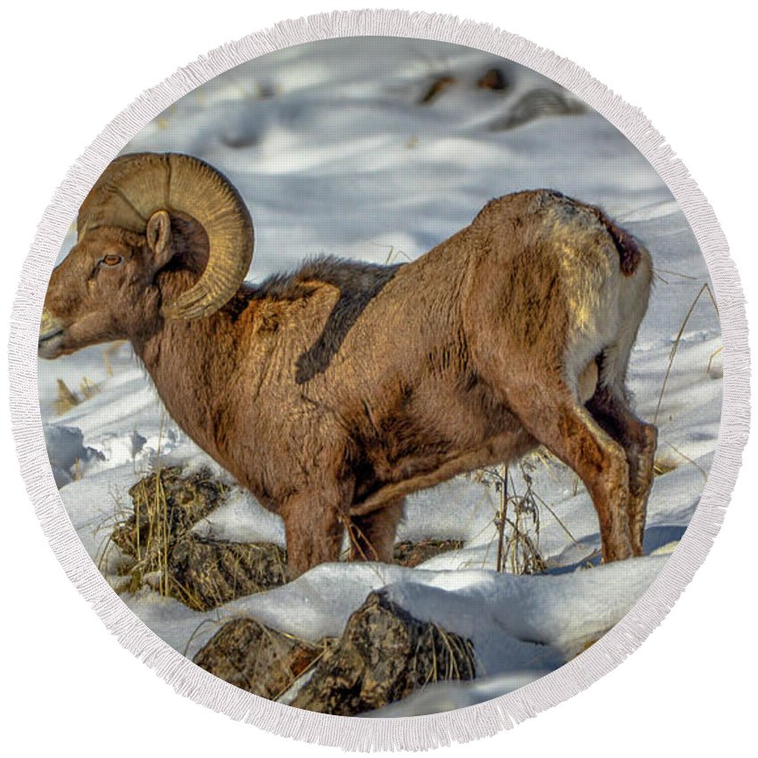 Bighorn Ram Round Beach Towel featuring the photograph Young Bighorn Ram1 by Jason Brooks