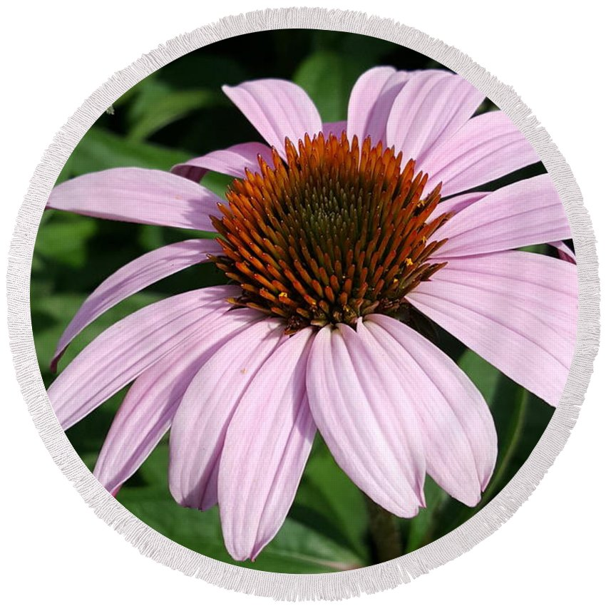Purple Round Beach Towel featuring the photograph Young Echinacea Bloom by Tammy Finnegan