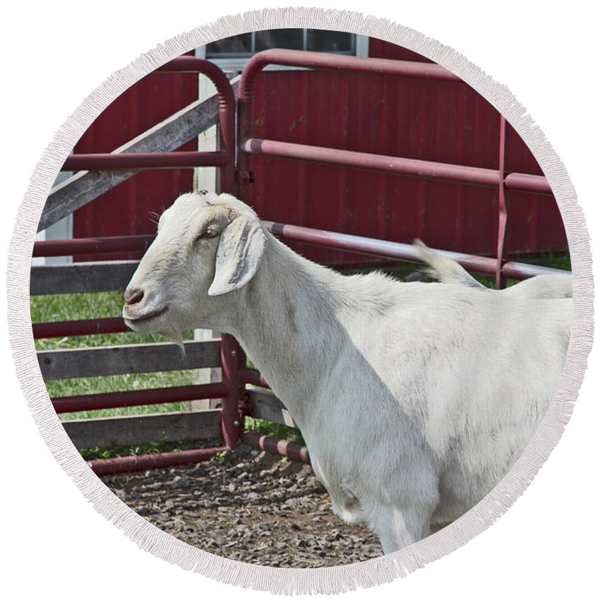Young Old Goat White And Grayish Red Fence And Gate Barn In Close Proximity Round Beach Towel featuring the photograph Young Old Goat White And Grayish Red Fence And Gate Barn In Close Proximity 2 9132017 by David Frederick