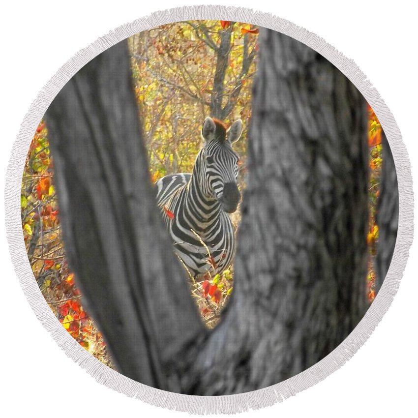 Wildlife Round Beach Towel featuring the photograph Zebra In Mopane Textures by Marc Holcroft