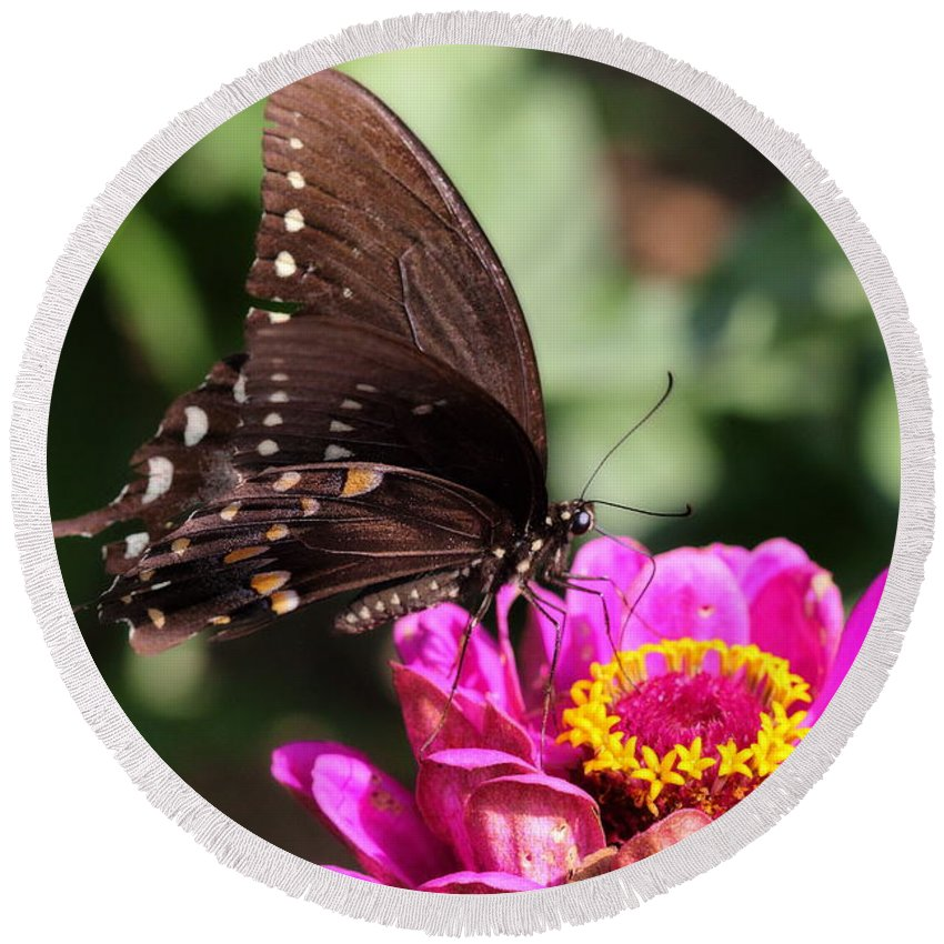 A Butterfly Perches Atop A Pink Zinnia To Sample Its Nectar. Round Beach Towel featuring the photograph Zinnia Visitor 4 by Angela Rath