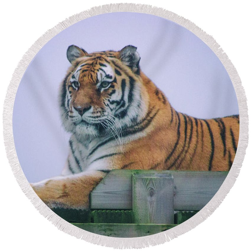 Tiger Round Beach Towel featuring the photograph Amur Tiger by Martin Newman
