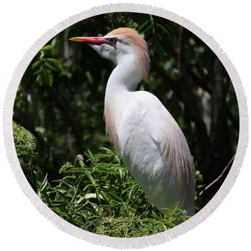 Cattle Egret Round Beach Towel featuring the photograph Cattle Egret With Breeding Feathers by Carol Groenen