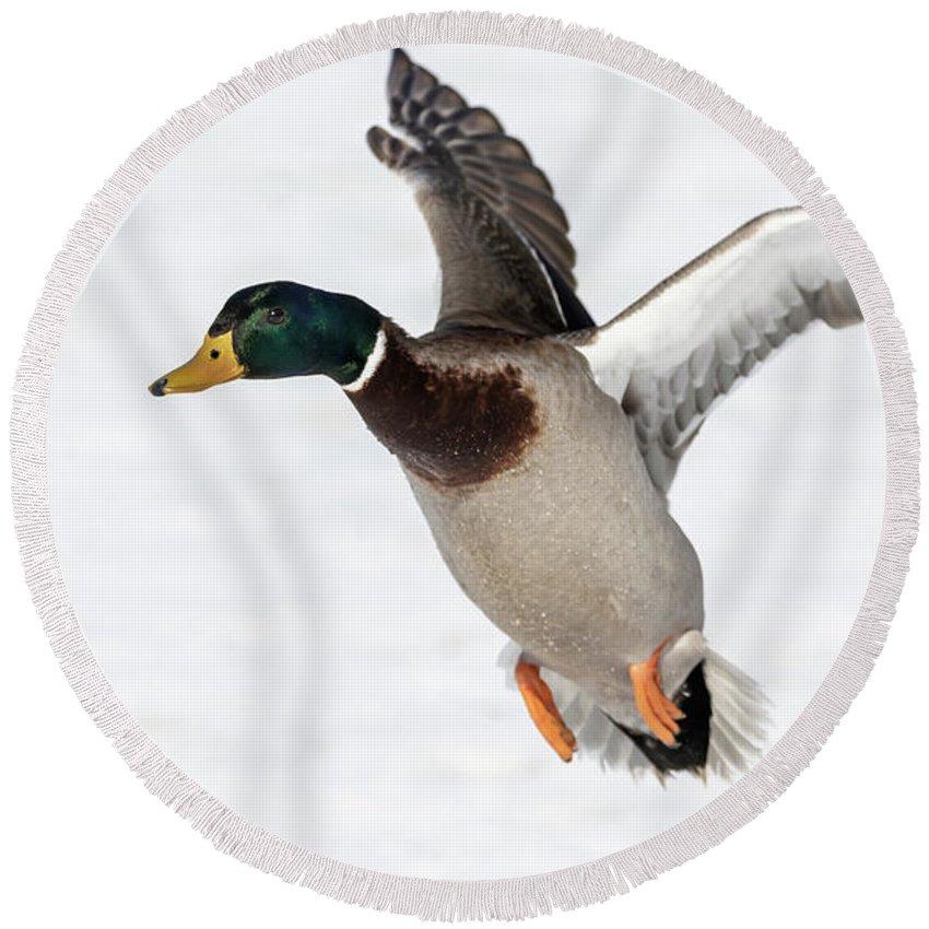 Mallard Drake Duck Round Beach Towel featuring the photograph Drake Mallard 2019-5 by Thomas Young