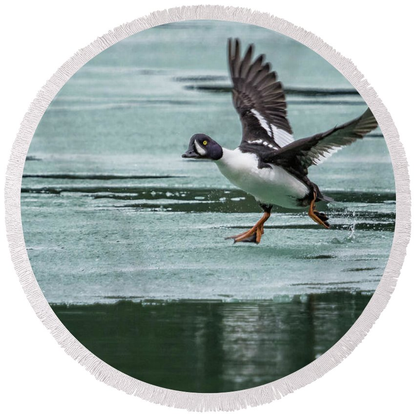 Barrow Golden Eye Round Beach Towel featuring the photograph Male Barrow's Goldeneye Scrambling Across The Ice by Belinda Greb
