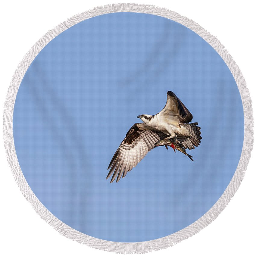 Osprey Round Beach Towel featuring the photograph Osprey With Catch 2019 by Thomas Young