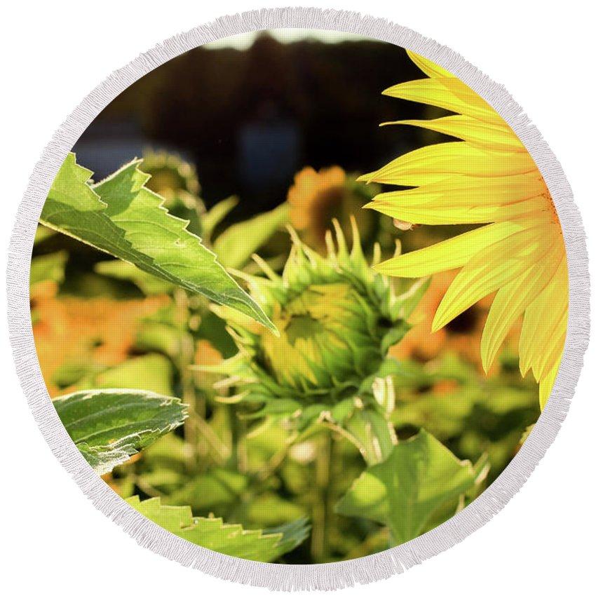 Sunflower Round Beach Towel featuring the photograph Sunflower Bloom by Martina Schneeberg-Chrisien