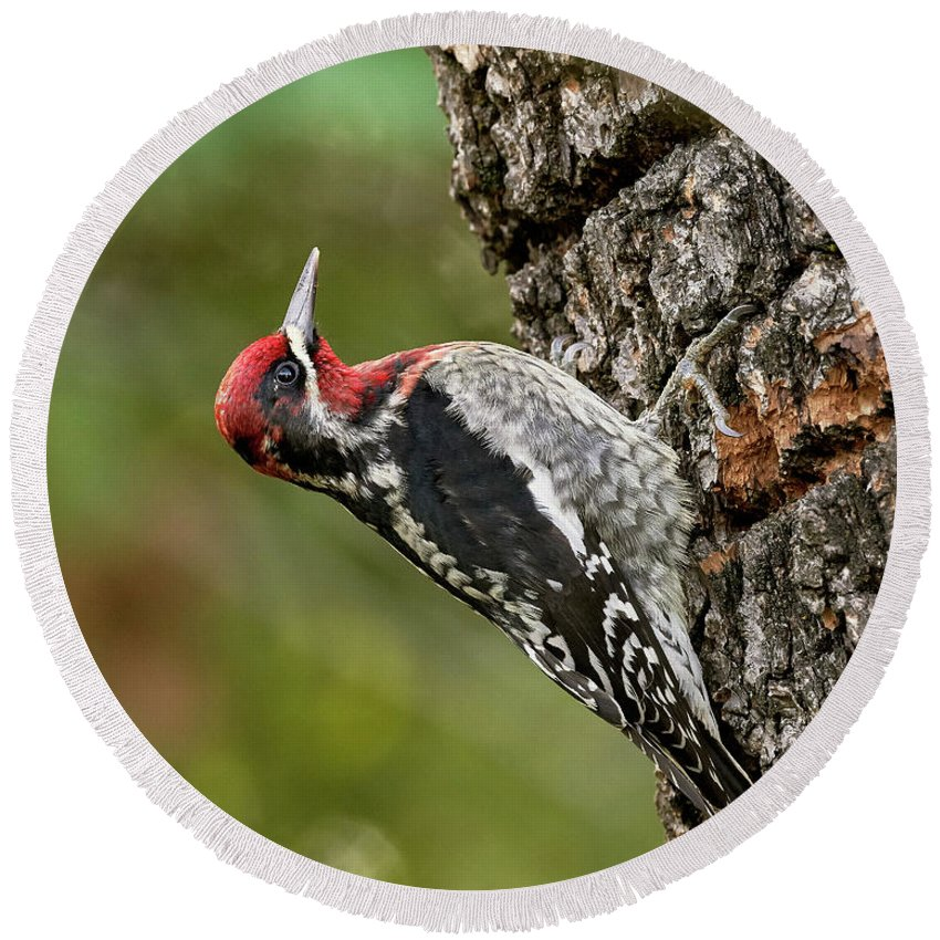 Birds Round Beach Towel featuring the photograph Red-breasted Sapsucker, Sacramento County California by Doug Herr