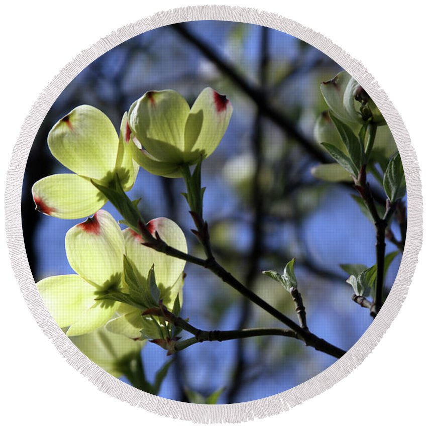 Dogwood Tree Round Beach Towel featuring the photograph Dogwood in Sunlight by John Lautermilch