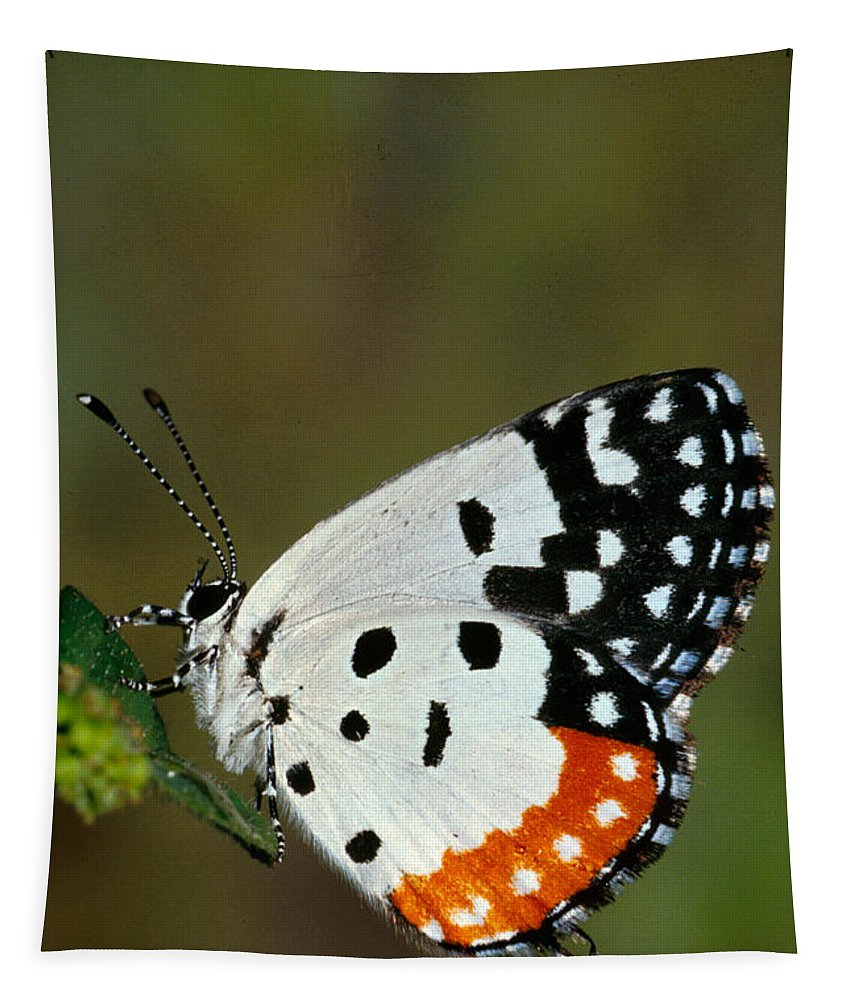 No People; Vertical; Outdoors; Day; Full Length; One Animal; Wildlife; Red Pierrot Butterfly Tapestry featuring the photograph Red Pierrot Butterfly by Anonymous