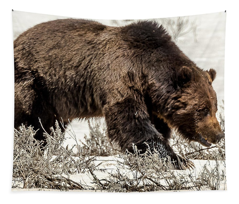 Grizzly Bear Tapestry featuring the photograph Grizzly Bear Snaggletooth by Yeates Photography