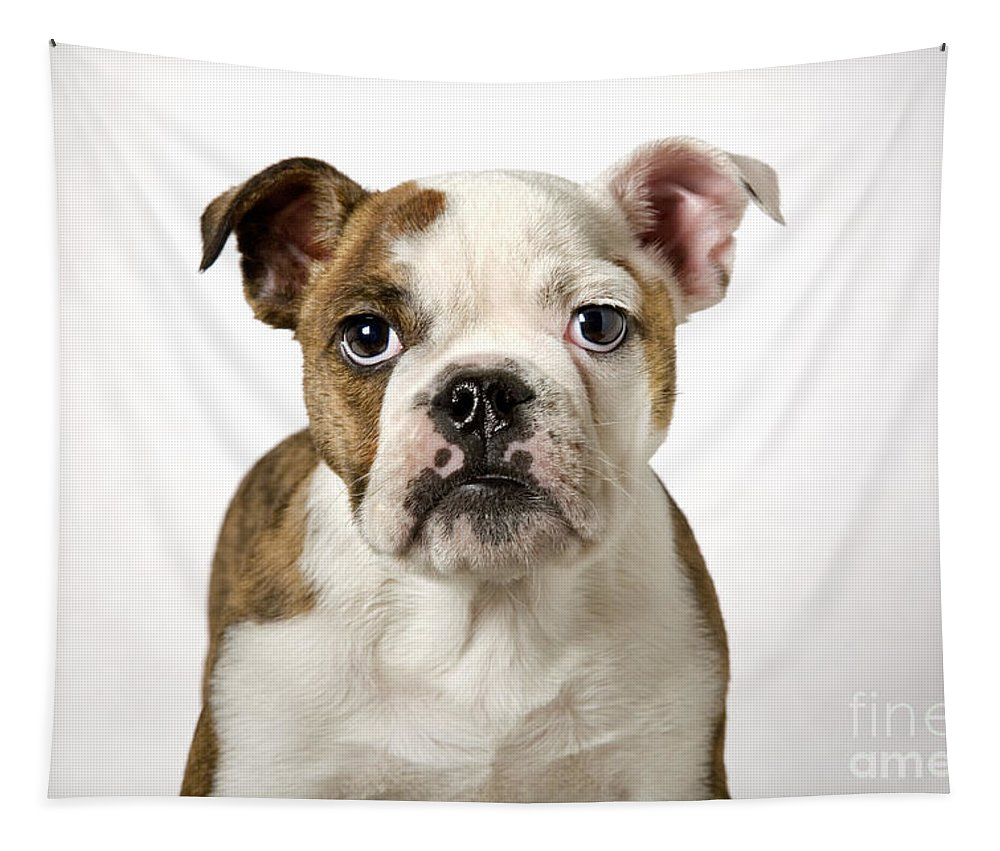 English Bulldog Tapestry featuring the photograph 110307p153 by Arterra Picture Library