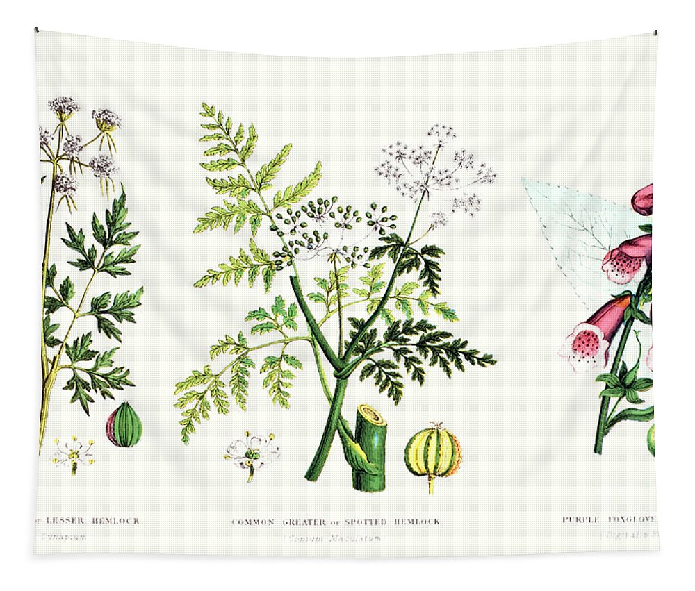 Botany; Botanical; Medicine; Medical; Plant; Flower; Flowers; Toxic Tapestry featuring the painting Common Poisonous Plants by English School