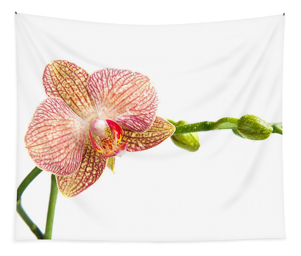 Ping Orchid Tapestry featuring the photograph Orchid Flower by Michalakis Ppalis
