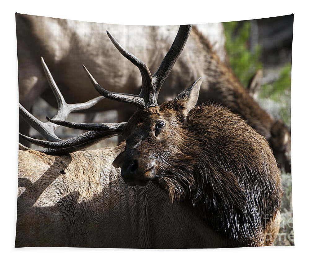 Elk Tapestry featuring the photograph Advantage by Wildlife Fine Art
